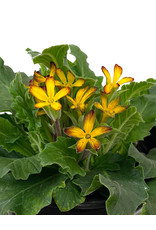 Primula 'Oakleaf Yellow Picotee' Quart