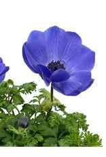Anemone 'Harmony Blue' Quart