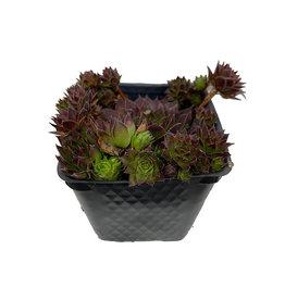 Sempervivum 'Black' 4 Inch