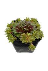 Sempervivum 'Jade Rose' 4 Inch