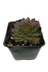 Sempervivum 'Kalinda' 4 Inch