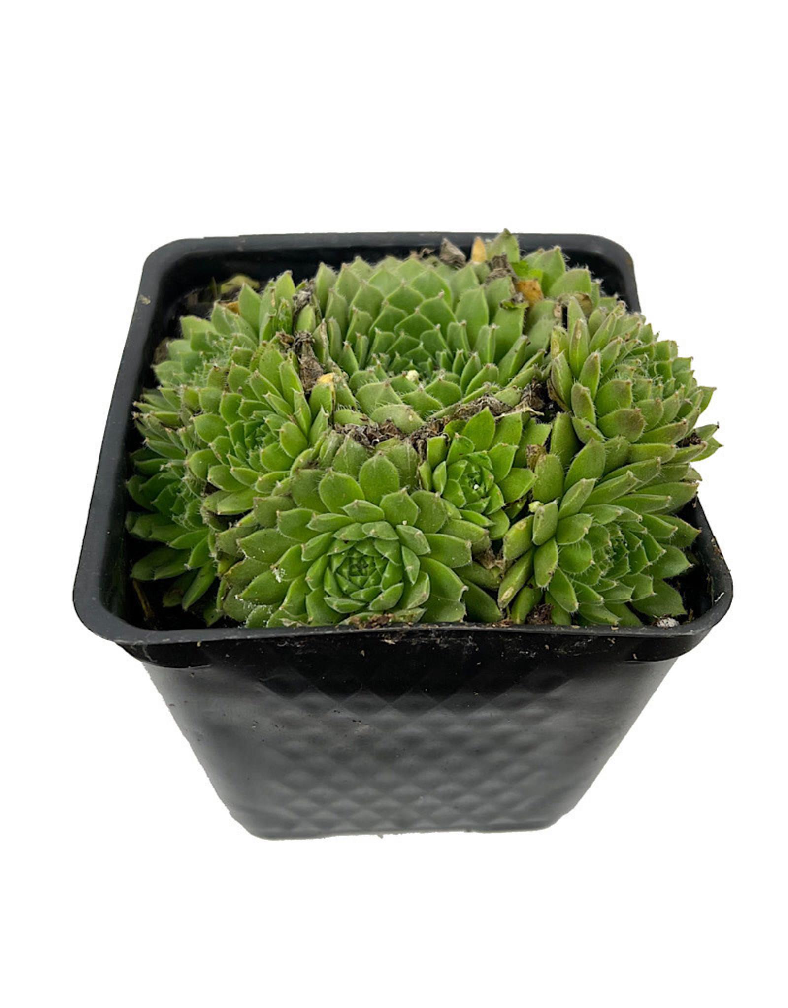 Sempervivum 'Spring Beauty' 4 Inch