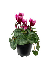 Cyclamen 'Melody Outdoor Shine Wine' 4 inch