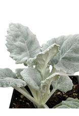 Senecio cineraria 'Cirrus' 4 inch