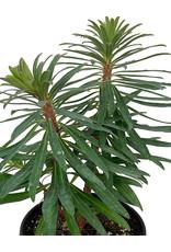 Euphorbia 'Black Pearl' 1 Gallon