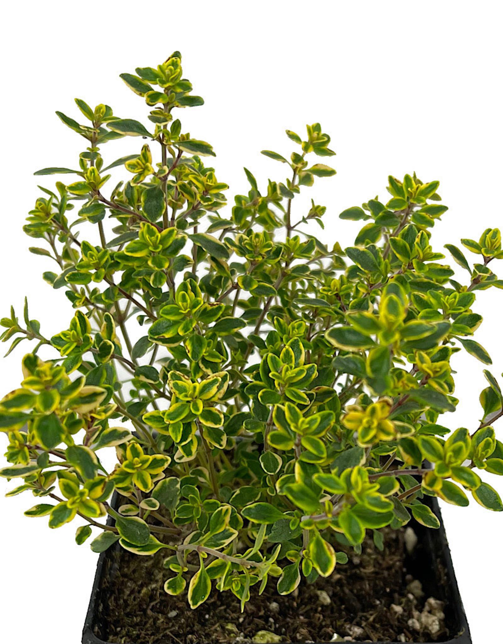 Thymus x citriodorus 4 inch