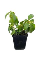 Pachysandra terminalis 'Green Sheen' 4 inch