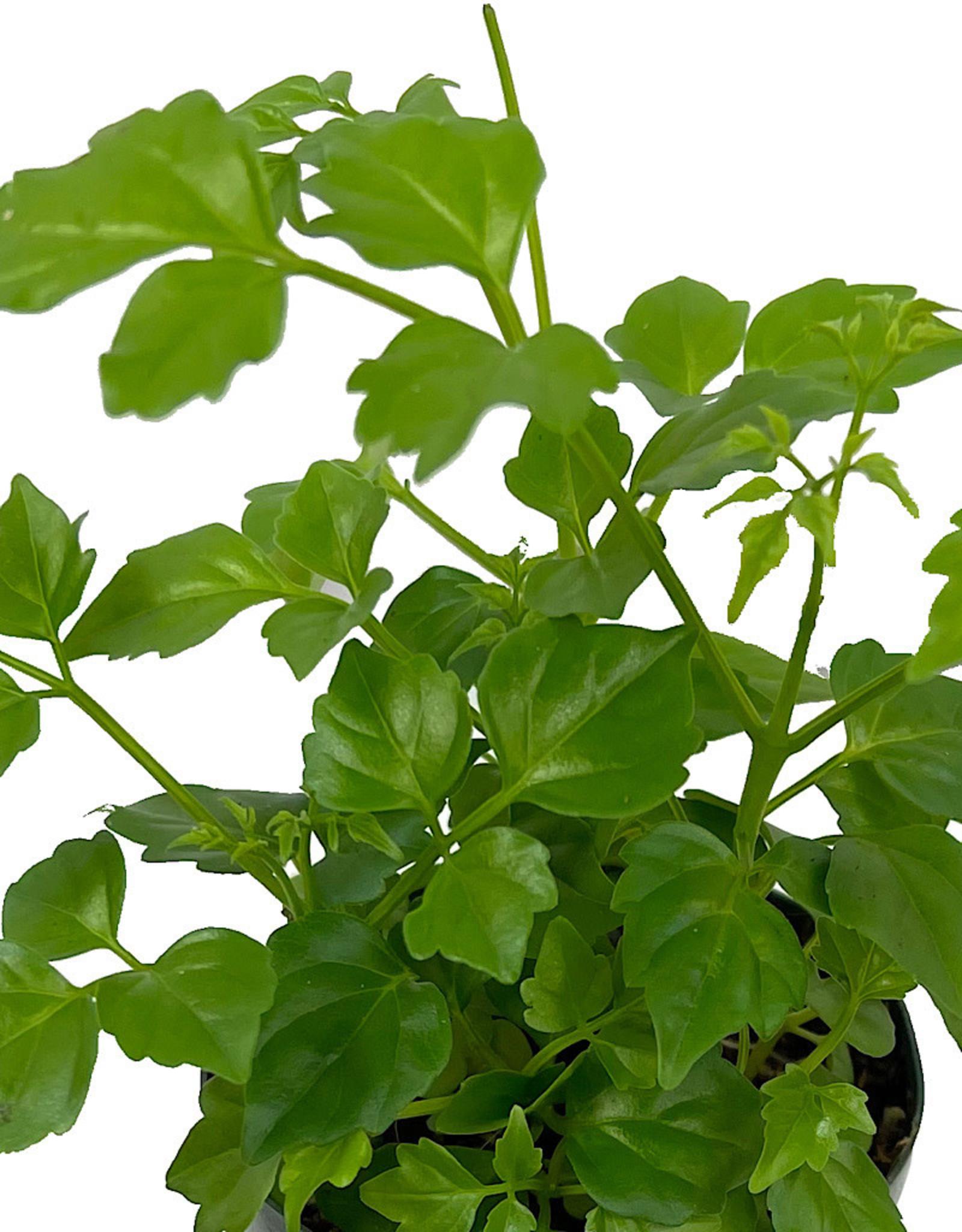 Radermachera sinica 2 Inch