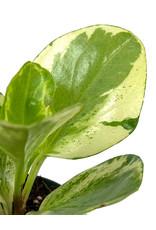 Peperomia obtusifolia 'Variegata' 2 Inch