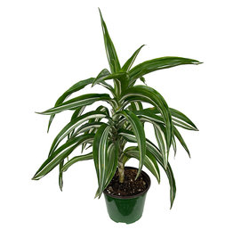 Dracaena fragrans 'Jade Jewel' 6 Inch