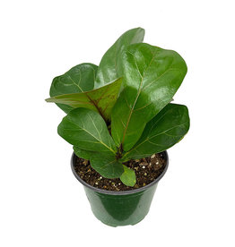 Ficus lyrata 'Little Sunshine' 6 Inch