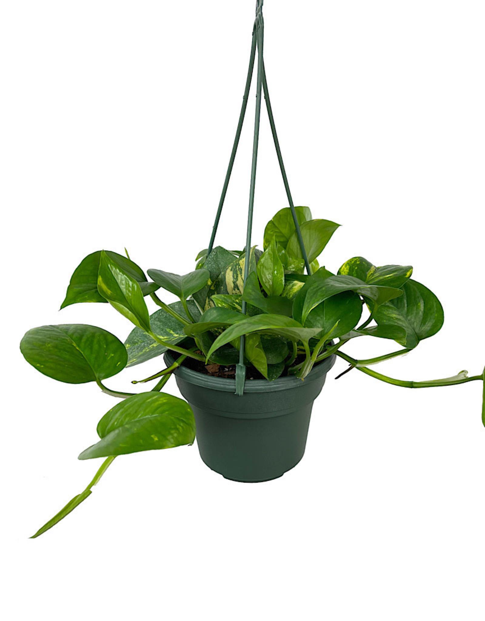 Pothos 'Golden' Hanging Basket 6 Inch