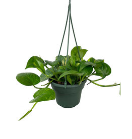 Pothos 'Golden' Hanging Basket 6 Inch
