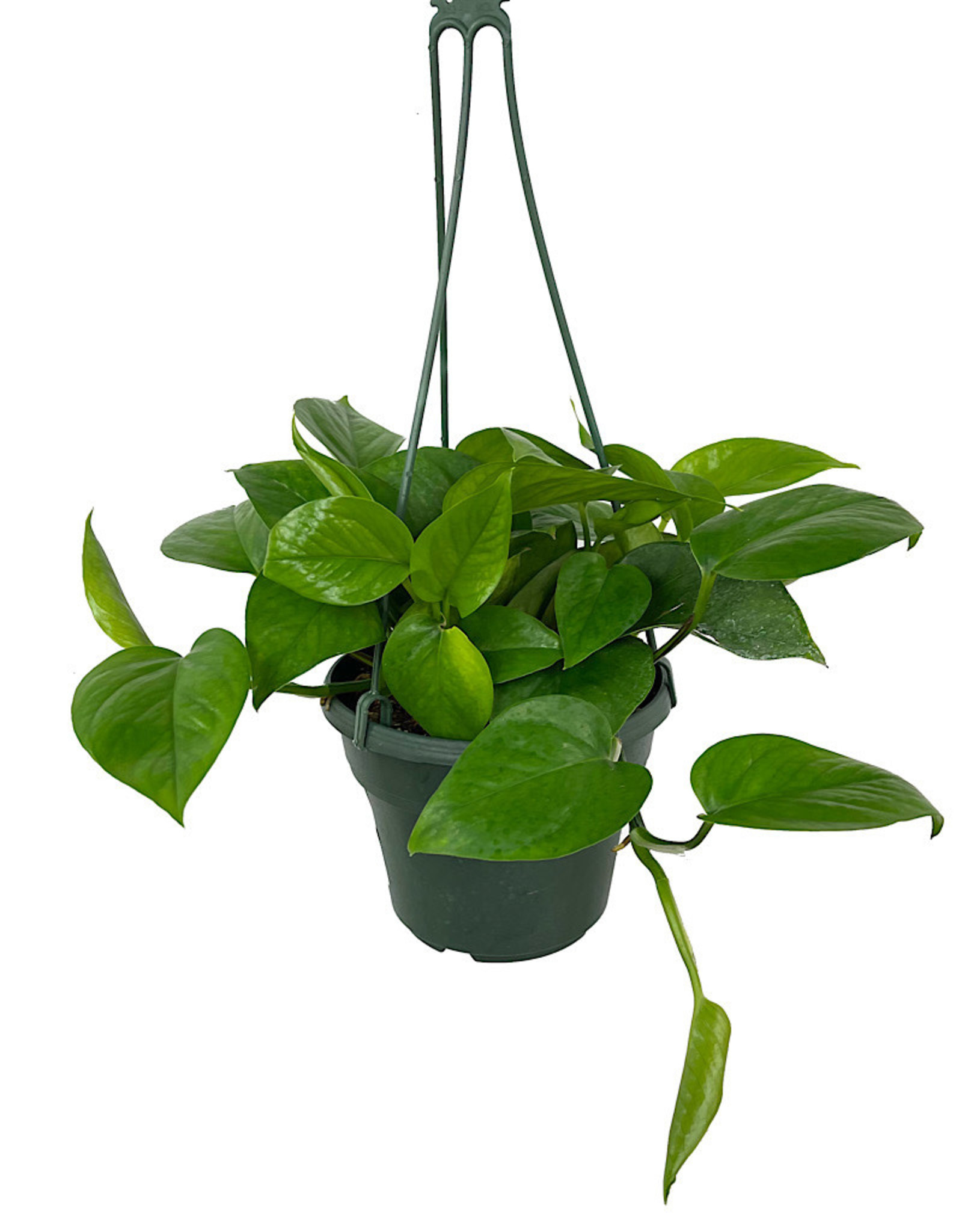 Pothos 'Jade' Hanging Basket 6 Inch