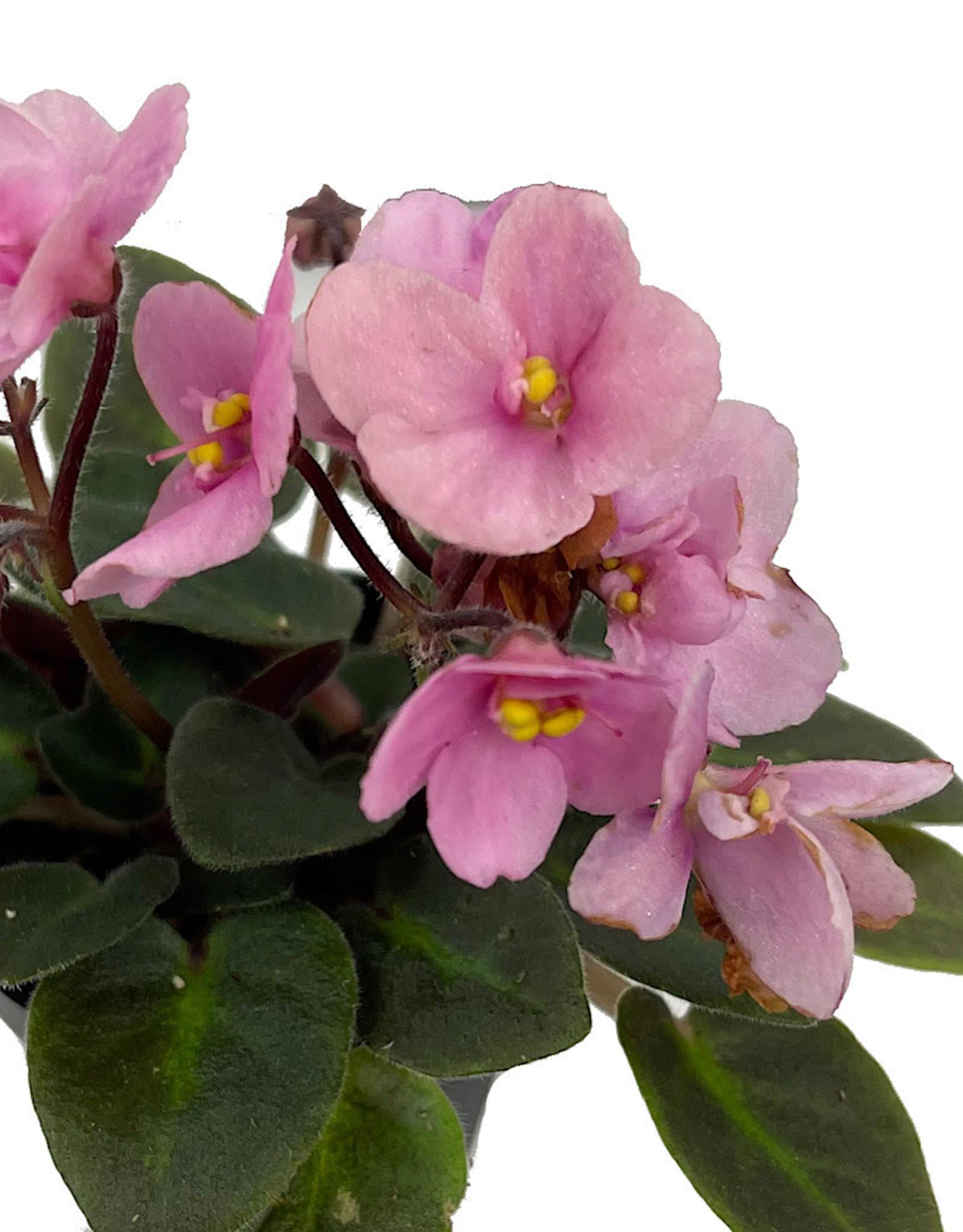 Streptocarpus 2 Inch