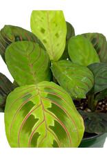 Maranta 'Prayer Plant' 4 Inch