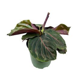 Calathea roseopicta 'Dottie'  4 Inch