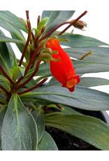 Gloxinia sylvatica 'Bolivian Sunset' Quart