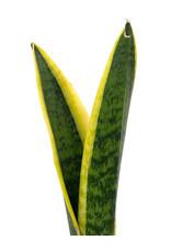 Sansevieria trifasciata 'Laurentii' 4 Inch