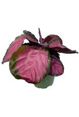 Calathea roseopicta 'Rosey' 4 Inch