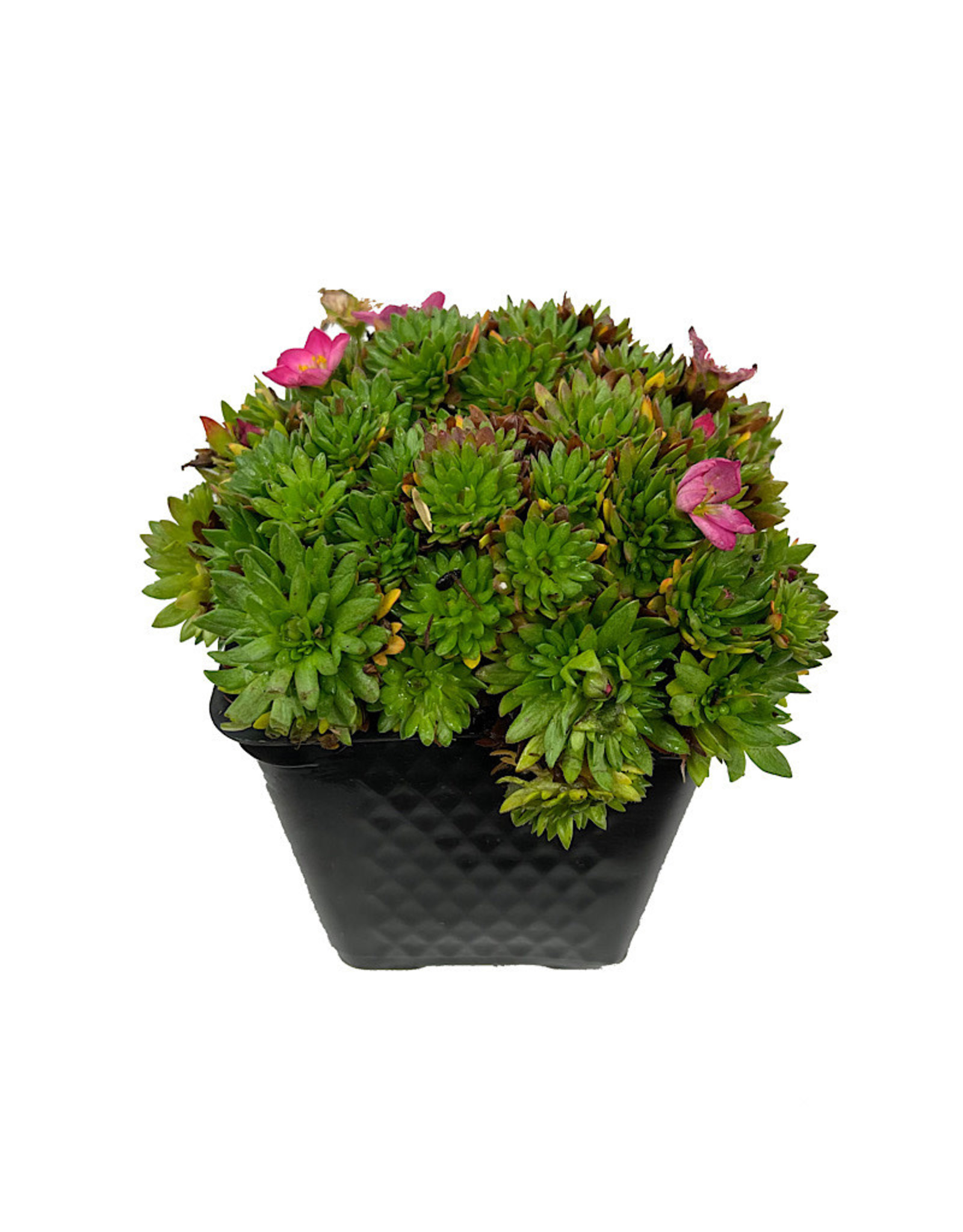 Saxifraga 'Alpino Early Magic Salmon' 4 Inch