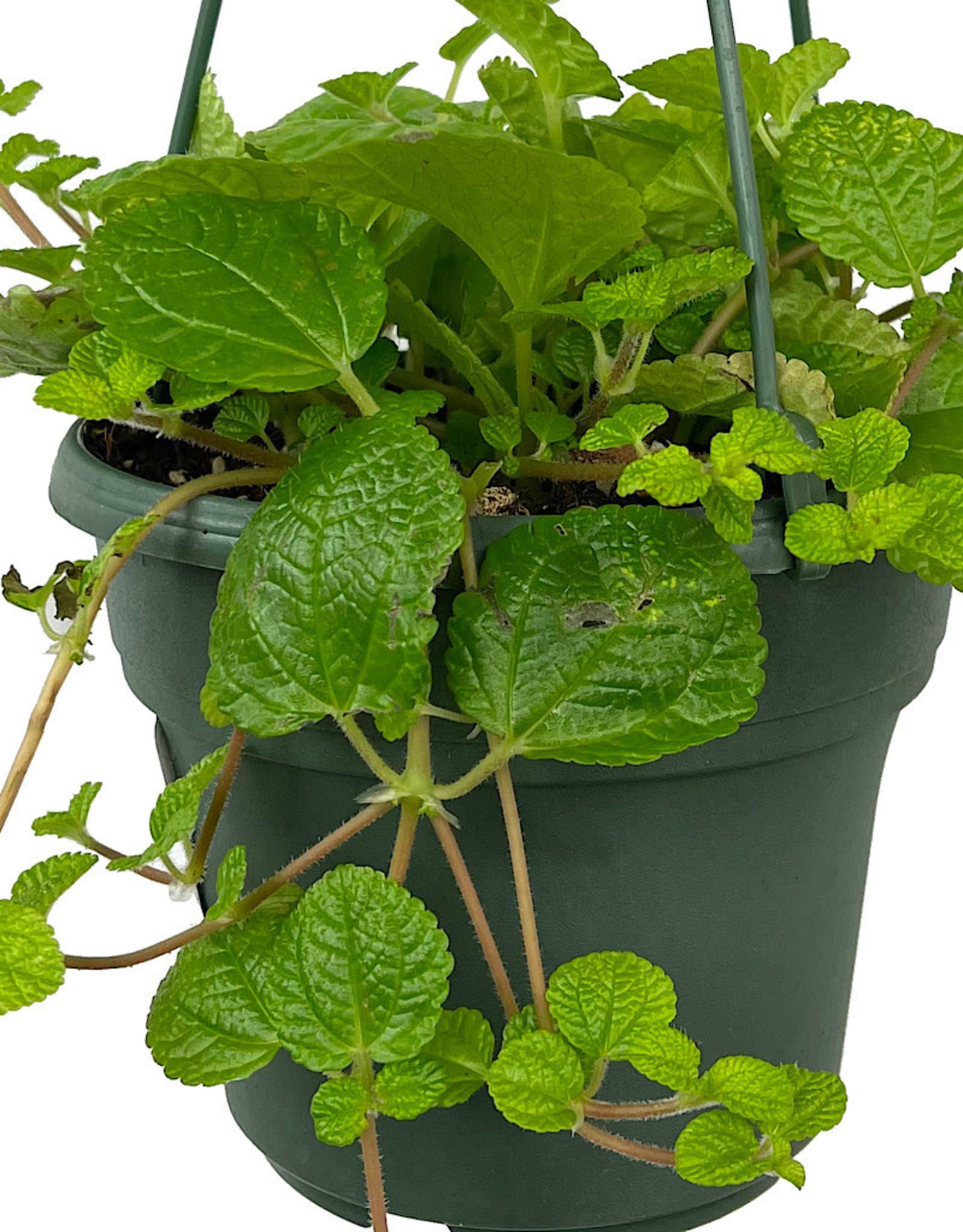 Pilea nummulariifolia 'Creeping Charlie' Hanging Basket 6 Inch