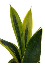 Sansevieria trifasciata 'Gold Flame' 6 Inch