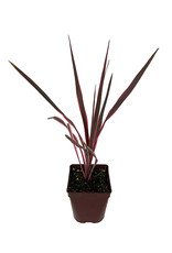 Cordyline 'Southern Splendor' Quart