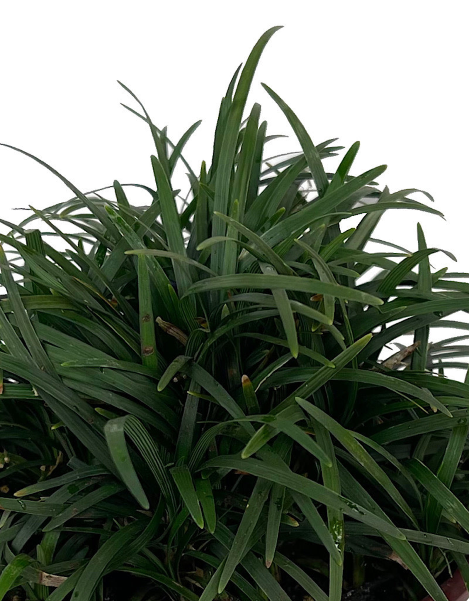 Ophiopogon j. 'Nanus' Quart