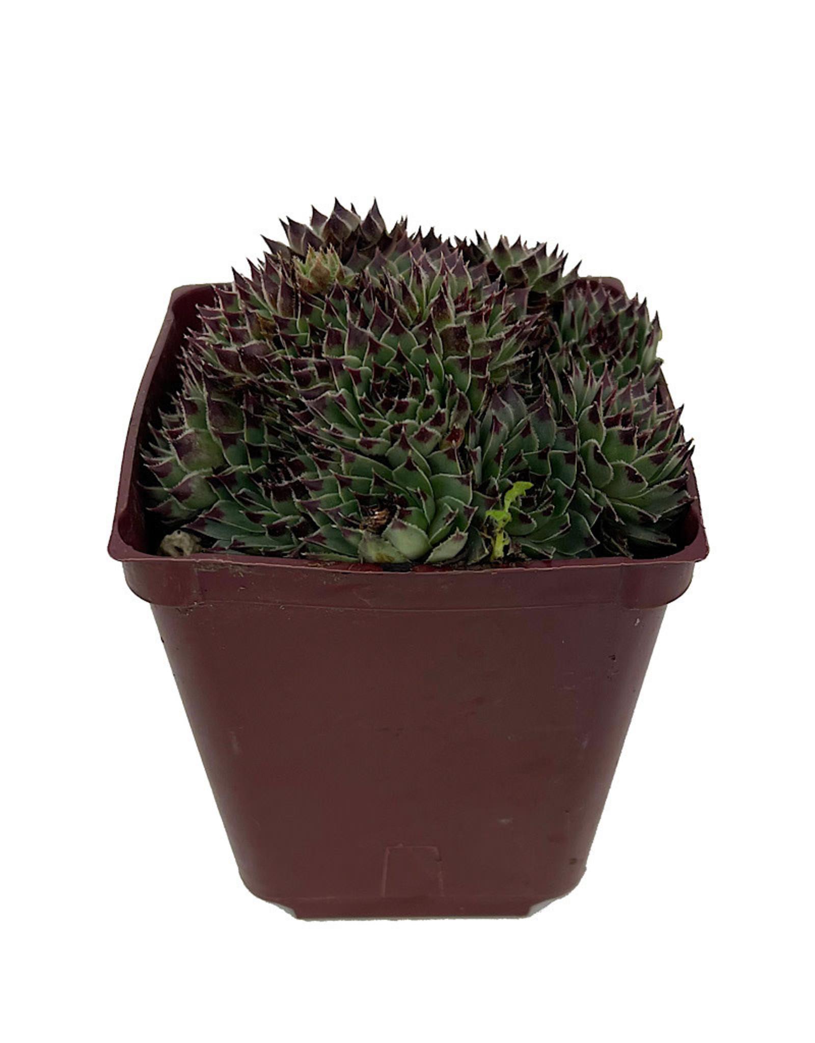 Sempervivum 'Mrs. Giuseppe' 4 inch