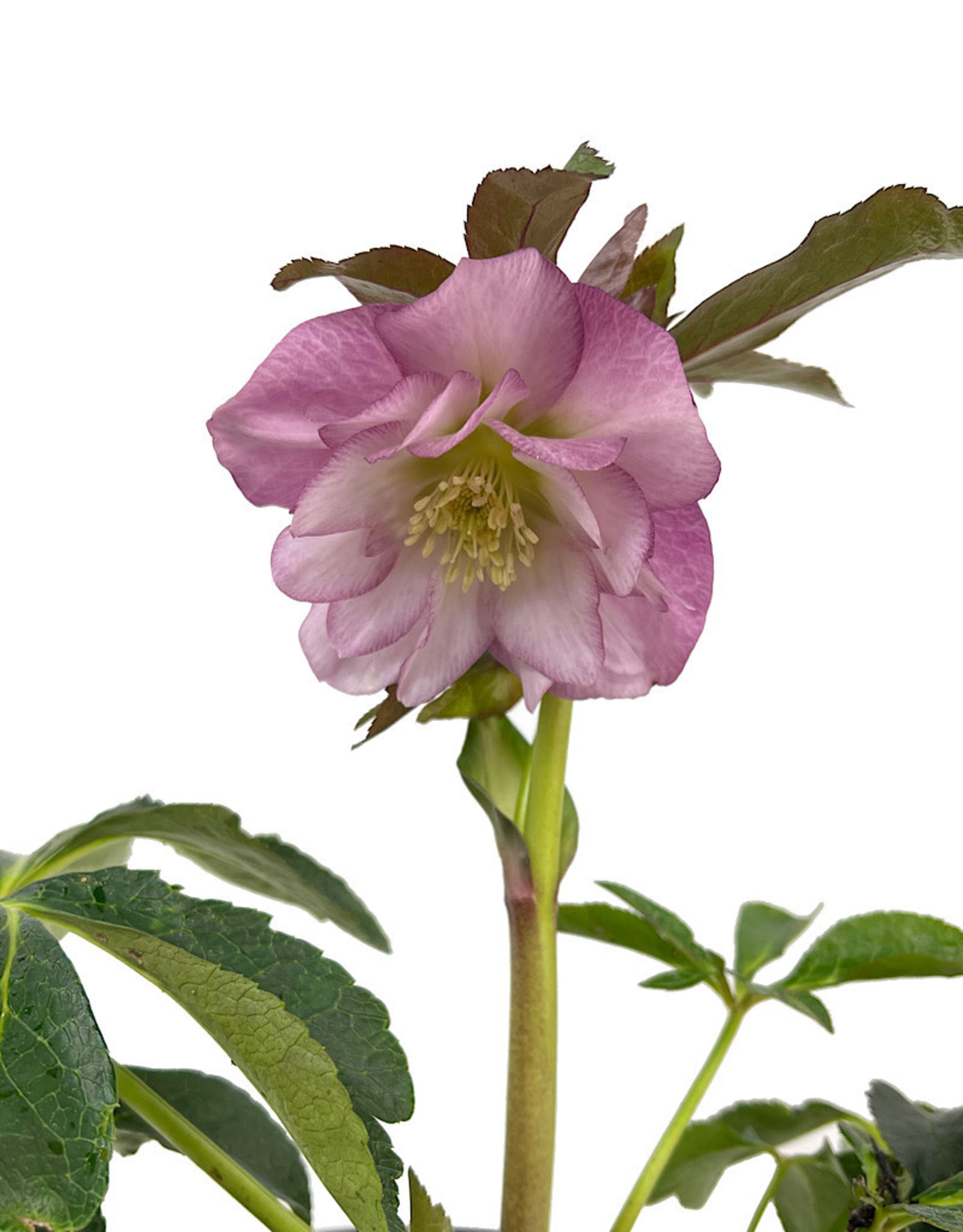 Helleborus 'North Star Pink' 1 Gallon