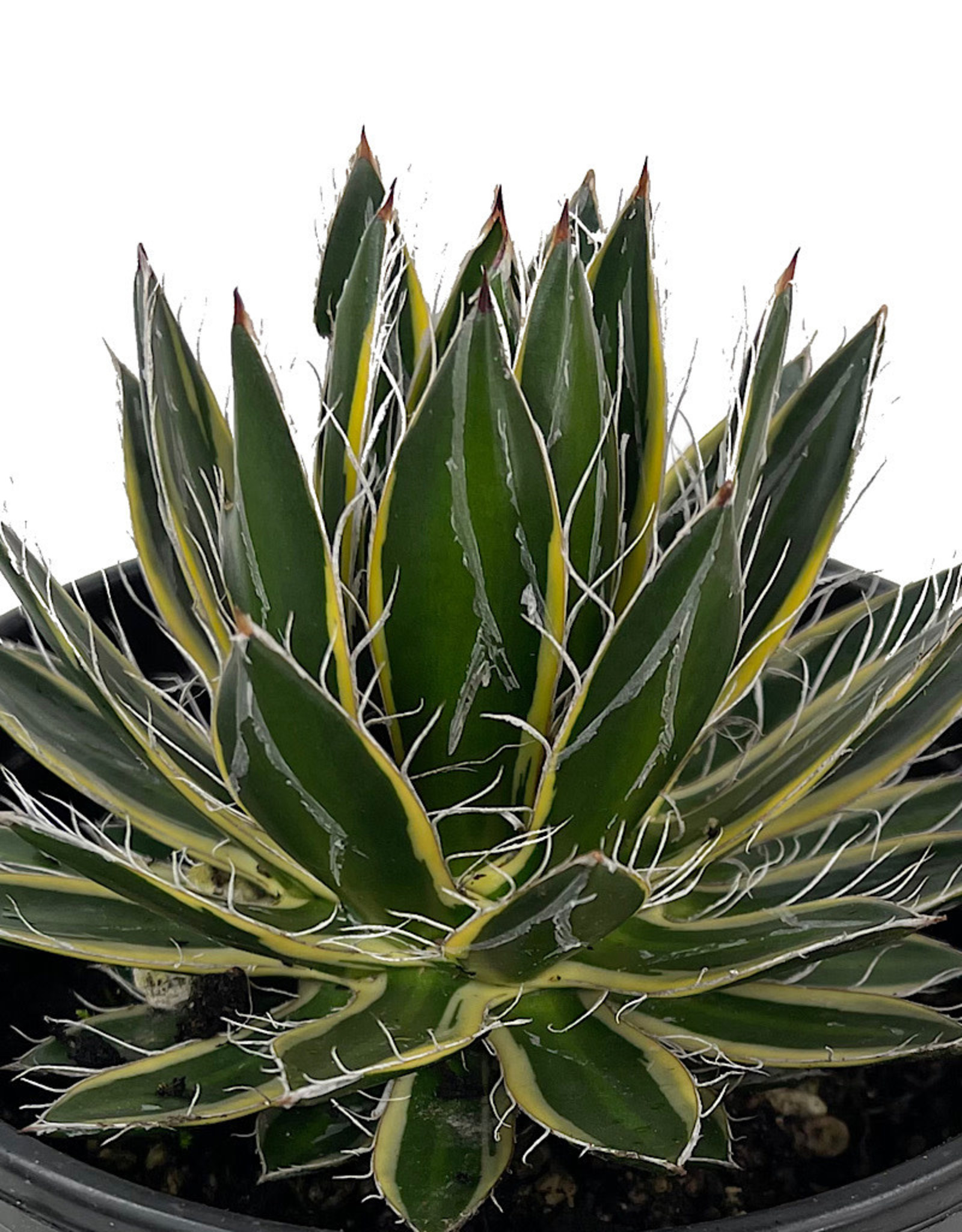 Agave schidigira 'Shira-Ito-No-Ohi' 1 Gallon