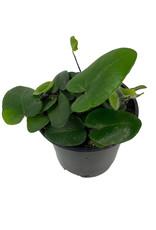 Hemionitis arifolia Quart