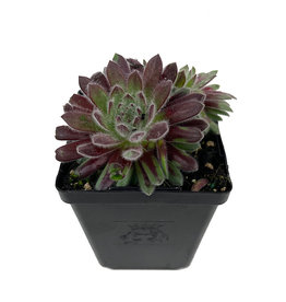 Sempervivum 'Pacific Plum Fuzzy' 4 Inch
