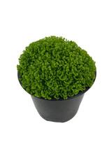 Selaginella kraussiana 'Brownii' Quart