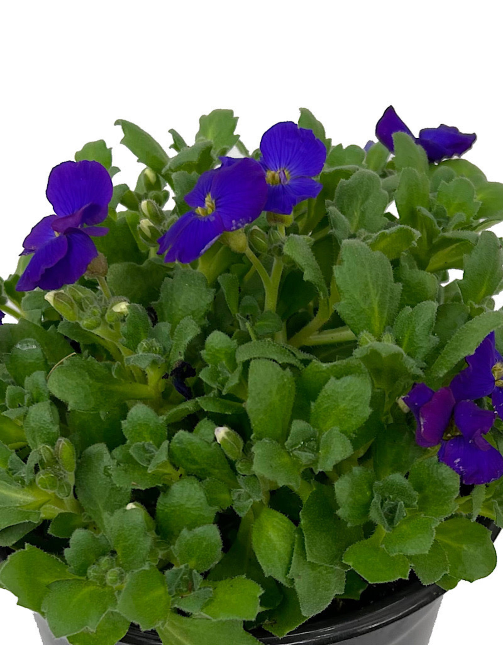 Aubrieta 'Axcent Deep Purple' Quart