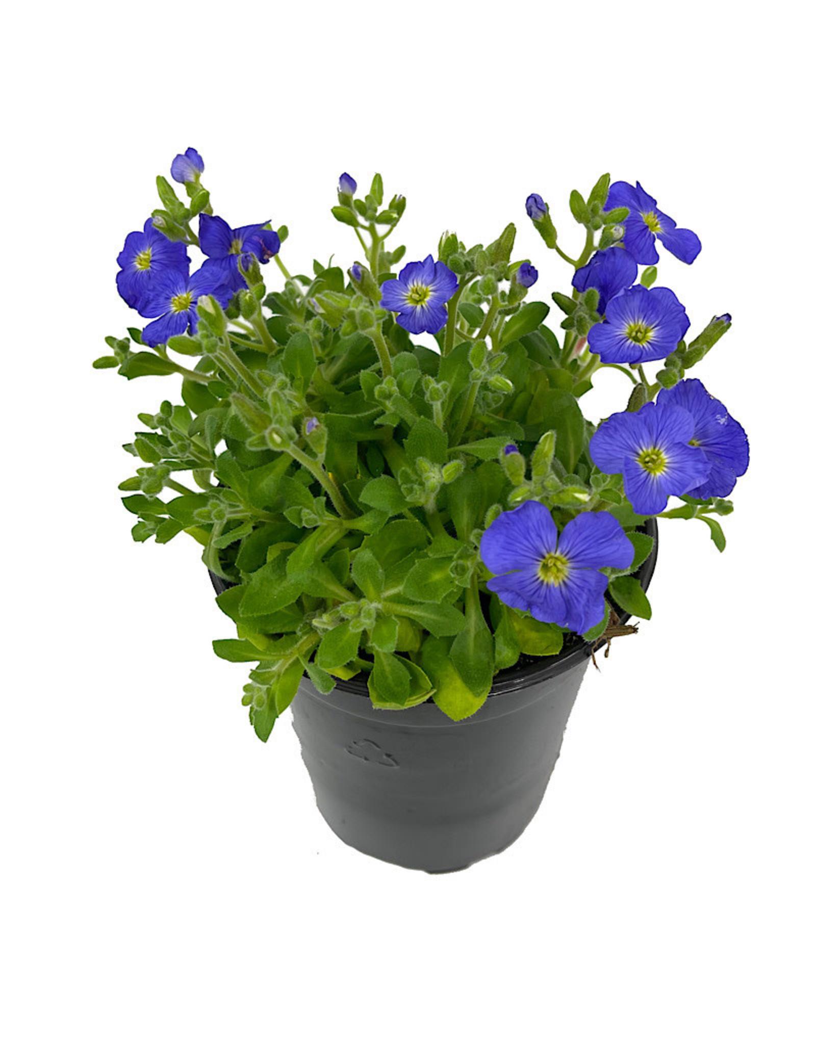Aubrieta 'Axcent Light Blue' Quart