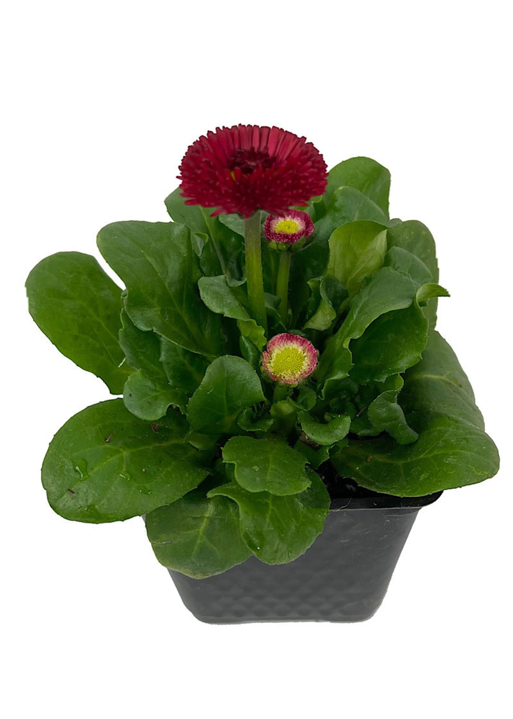 Bellis p. 'Tasso Red' 4 inch