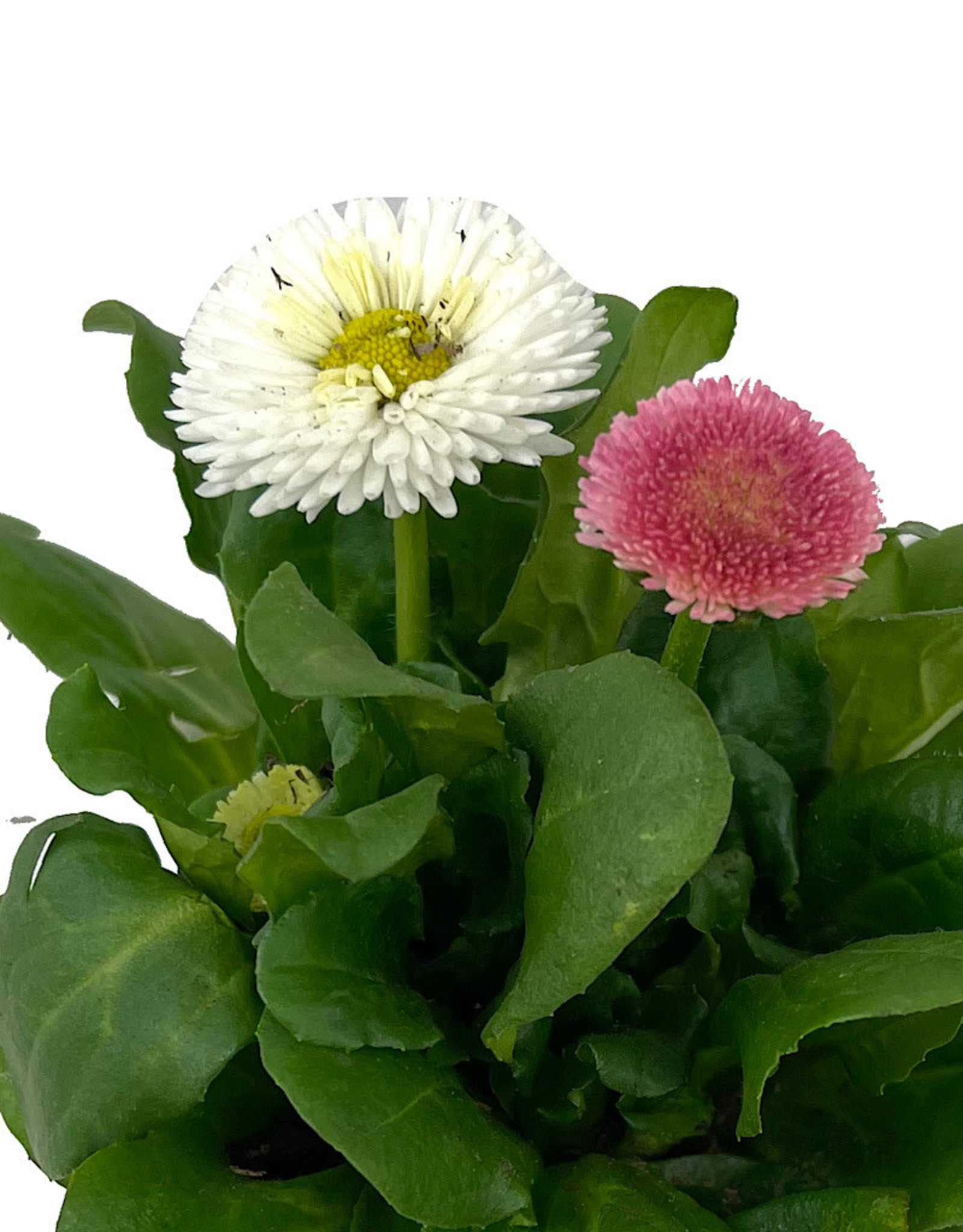 Bellis p. 'Tasso Mix' 4 Inch
