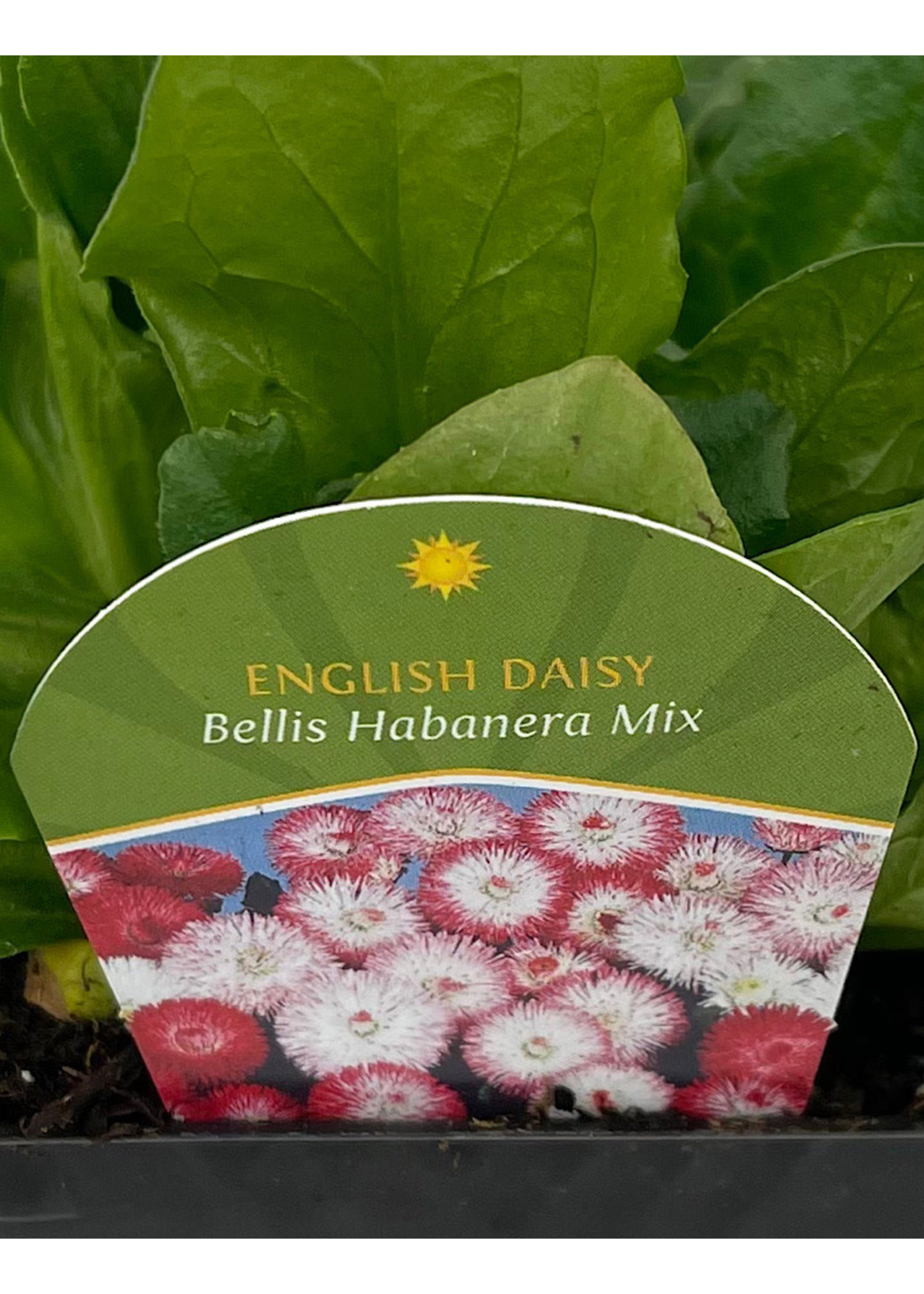 Bellis p. 'Habanera Mix' 4 inch