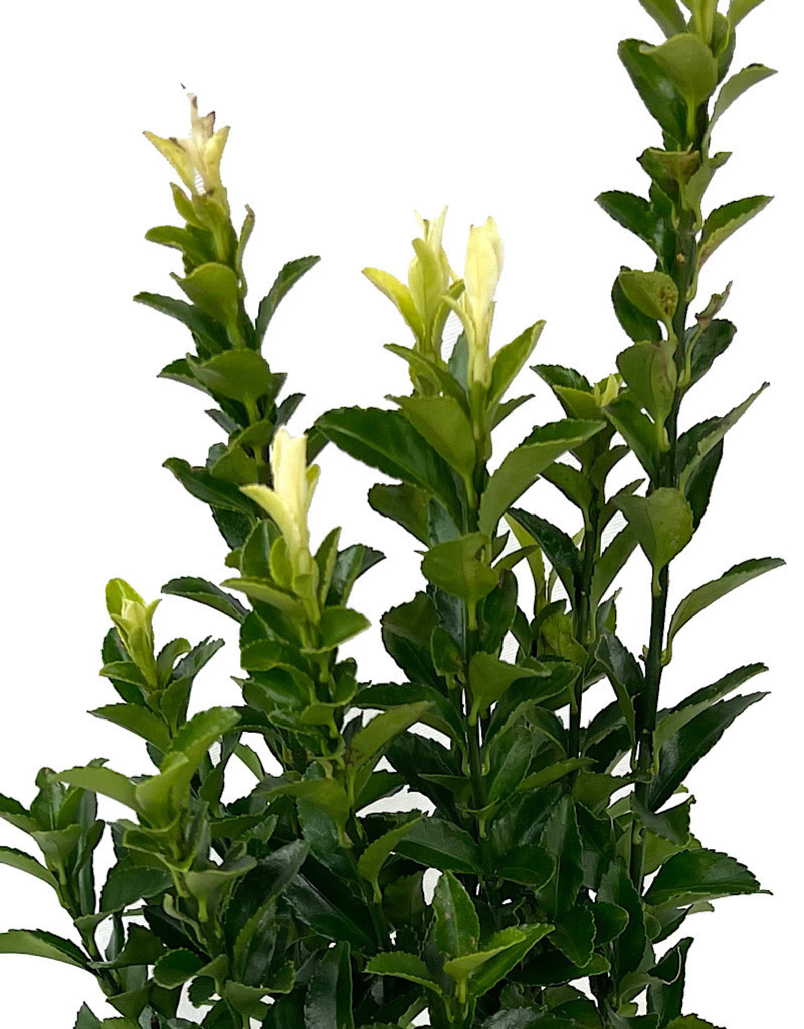 Euonymus japonicus 'Paloma Blanca' Quart