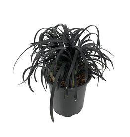 Ophiopogon planiscapus'Nigrescens' Quart