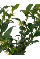 Sarcococca ruscifolia Quart