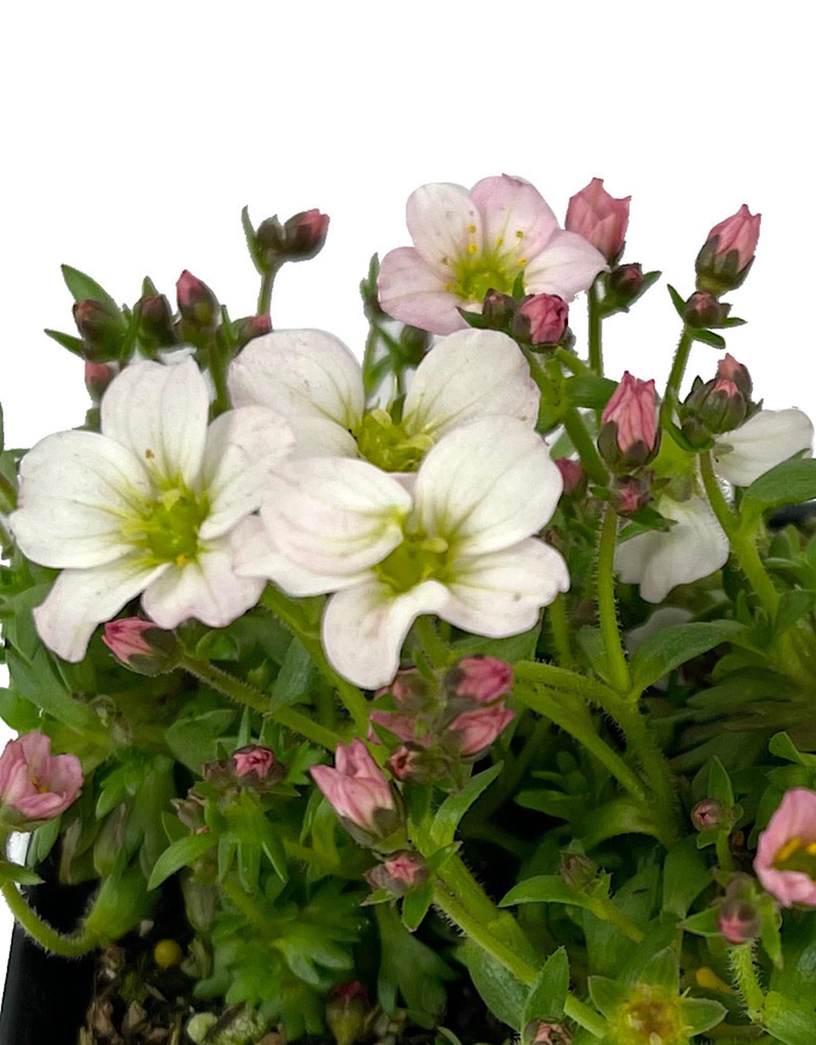 Saxifraga 'Alpino White' 4 inch