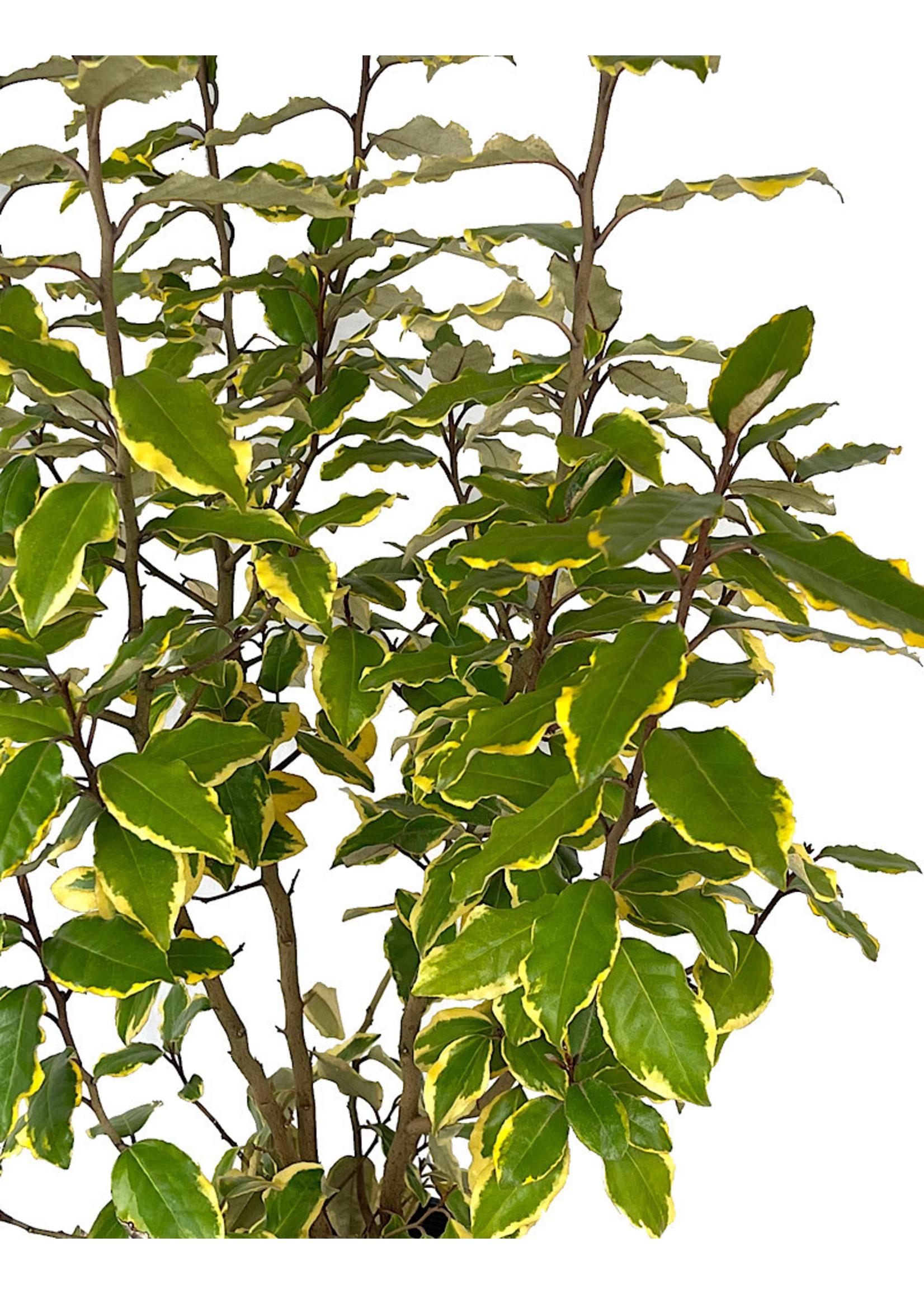 Elaeagnus x e. 'Olive Martini' 2 Gallon