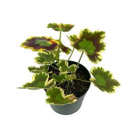 Geranium Fancy Leaf 'Mrs. Pollock' Quart