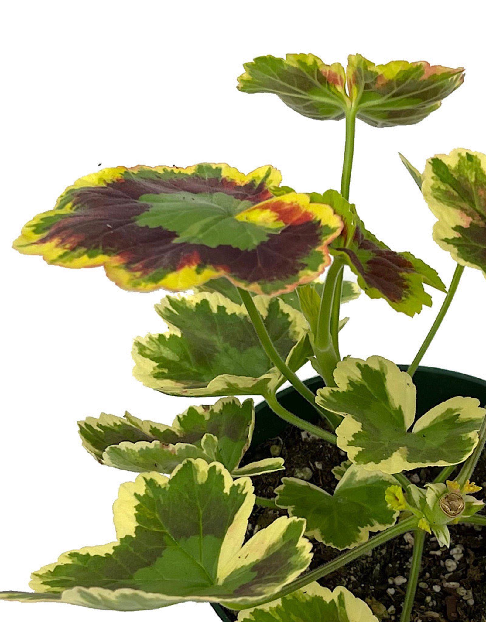 Geranium Fancy Leaf 'Mrs. Pollock' Quart