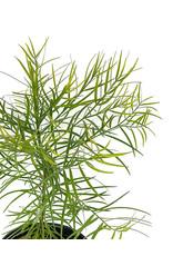 Podocarpus gracilior 1 Gallon