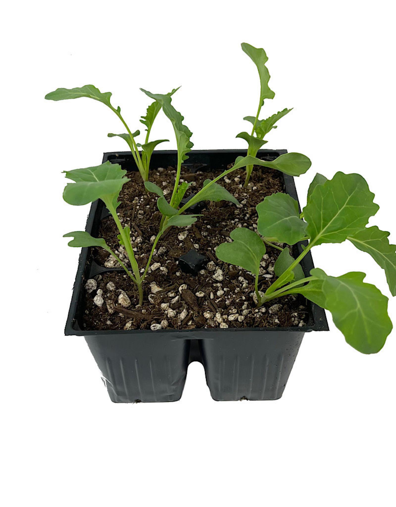 Broccoli 'Spring Blend' Jumbo Traypack