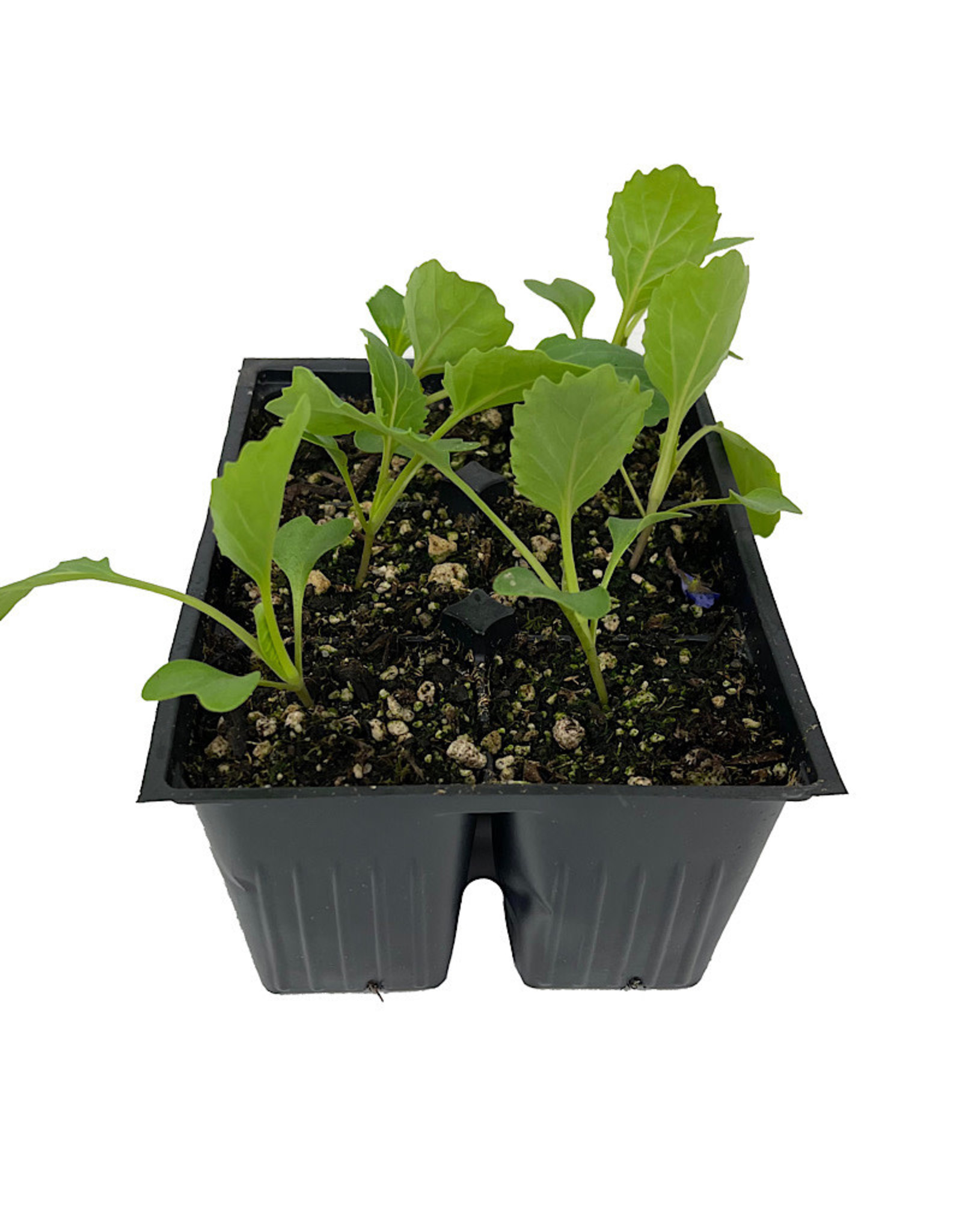 Cabbage 'Golden Acre' Jumbo Traypack